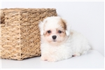 Picture of Garry- Male Poochon Puppy