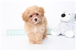 Picture of Annie- Female Poo-Chon Puppy