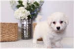 Jerry - ACA Male Bichon Frisé Puppy | Puppy at 18 weeks of age for sale