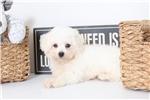 Picture of Mikey- ACA Male Bichon Frisé Puppy