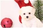 Picture of Snowy - ACA Female Bichon Puppy