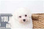 Picture of Derek- Cute Male Bichon Puppy