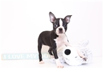 Picture of Maddie - Female ACA Boston Terrier