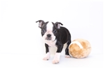 Picture of Willie - Male ACA Boston Terrier