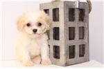 Picture of Roxy- Female Cavachon Puppy
