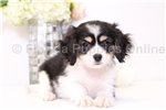 Billy - Male Cavachon Puppy | Puppy at 11 weeks of age for sale