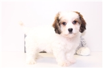 Tad - Male Cavachon Puppy | Puppy at 10 weeks of age for sale