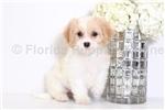 Picture of Haley - Female Cavachon Puppy