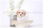 Picture of Suzy - Female Cavachon Puppy