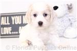 Picture of Daisy - Female Cavachon Puppy