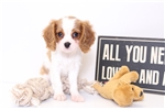 Picture of Tux - Male Certified AKC King Charles Cavalier