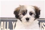 Picture of Snowy- Female AKC Coton de Tulear Puppy