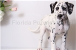 Spot - AKC Male Dalmation Puppy  | Puppy at 12 weeks of age for sale