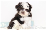Picture of Ernie - AKC Male Havanese