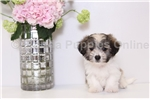 Picture of Diego - Male ACA Havanese