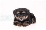 Picture of Ranger - Male Havanese Yorkie Puppy