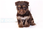 Picture of Sid - Male Havanese Yorkie Puppy