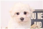 Picture of Button - Female Maltese Puppy
