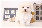 Picture of Dot - Female Maltese Puppy