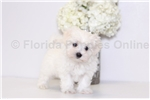 Picture of Cody - AKC Male Maltese Puppy