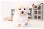 Picture of Roo - Male Maltese Puppy