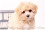 Picture of Page - Female Morkie Puppy
