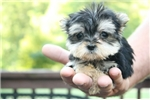 Picture of Legend - Male MICRO Teacup Morkie Puppy