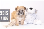 Annie - Female Morkie Puppy | Puppy at 16 weeks of age for sale