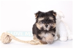 Lance- Male Teacup Morkie Puppy | Puppy at 14 weeks of age for sale