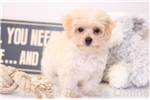 Picture of Willy - Male Morkie Puppy