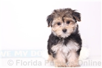 Picture of Ruth - Female Morkie Puppy