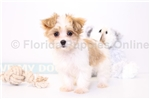 Picture of Cora - Female Papitese Puppy