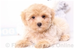 Picture of Lilly - Female Morkie Puppy