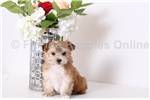 Picture of Belle - Female Teacup Morkie Puppy