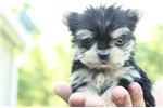 Picture of Peanut - Male MICRO Teacup Morkie Puppy