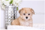 Picture of Carson - Male Morkie Puppy