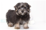 Beau - Male Morkie Puppy | Puppy at 13 weeks of age for sale