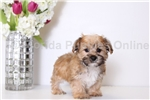 Picture of Harley - Male Morkie Puppy