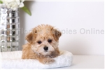 Picture of Ralphy - Male Morkie Puppy