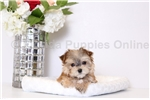 Picture of Beau - MICRO TEACUP Male Morkie Puppy