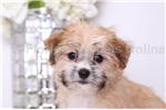 Picture of Stewart - Male Morkie Puppy