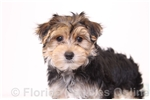 Picture of Babe - Male Morkie Puppy