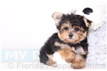 Picture of Norman - Male Morkie Puppy