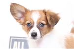 Picture of Pauley - Male ACA Papillon Puppy