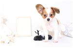 Picture of Tommy - Male ACA Papillon Puppy