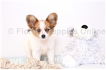 Picture of Frank - Male Papillon Puppy