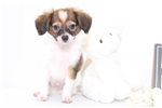Picture of Will - Male ACA Papillon Puppy