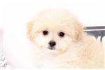 Picture of Heath- Male Pomapoo Puppy