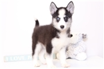 Picture of Rocky - Male Pomsky Puppy