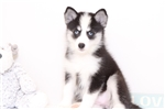 Riley- Adventurous Female Pomsky Puppy | Puppy at 11 weeks of age for sale
